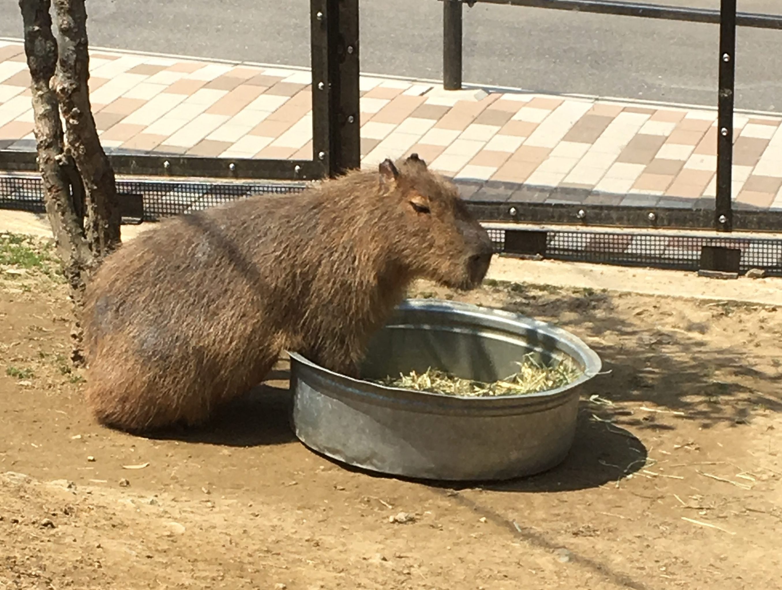 capybara at Harvest Hill