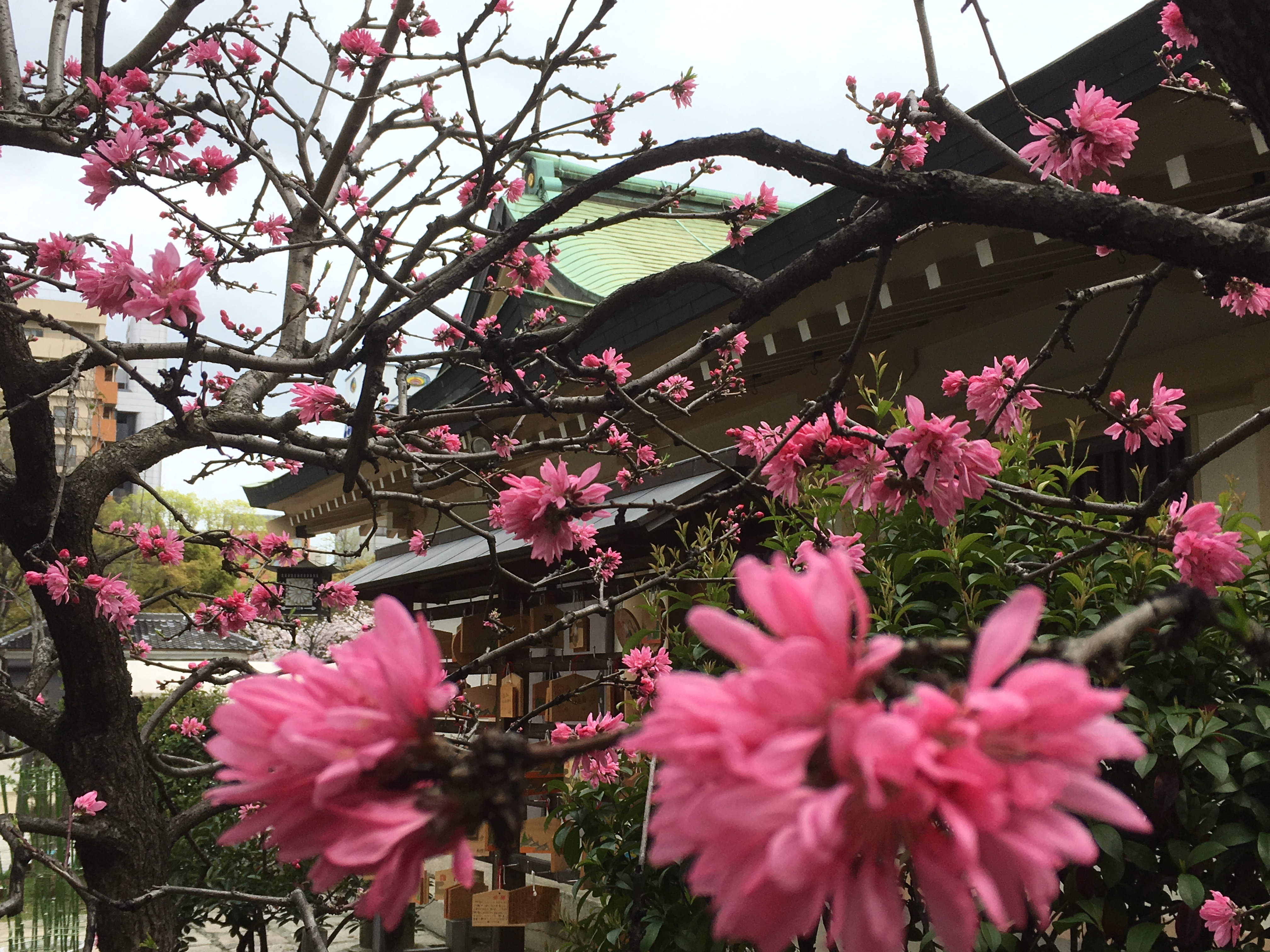 side of Ikutama shrine with pink peach blossoms