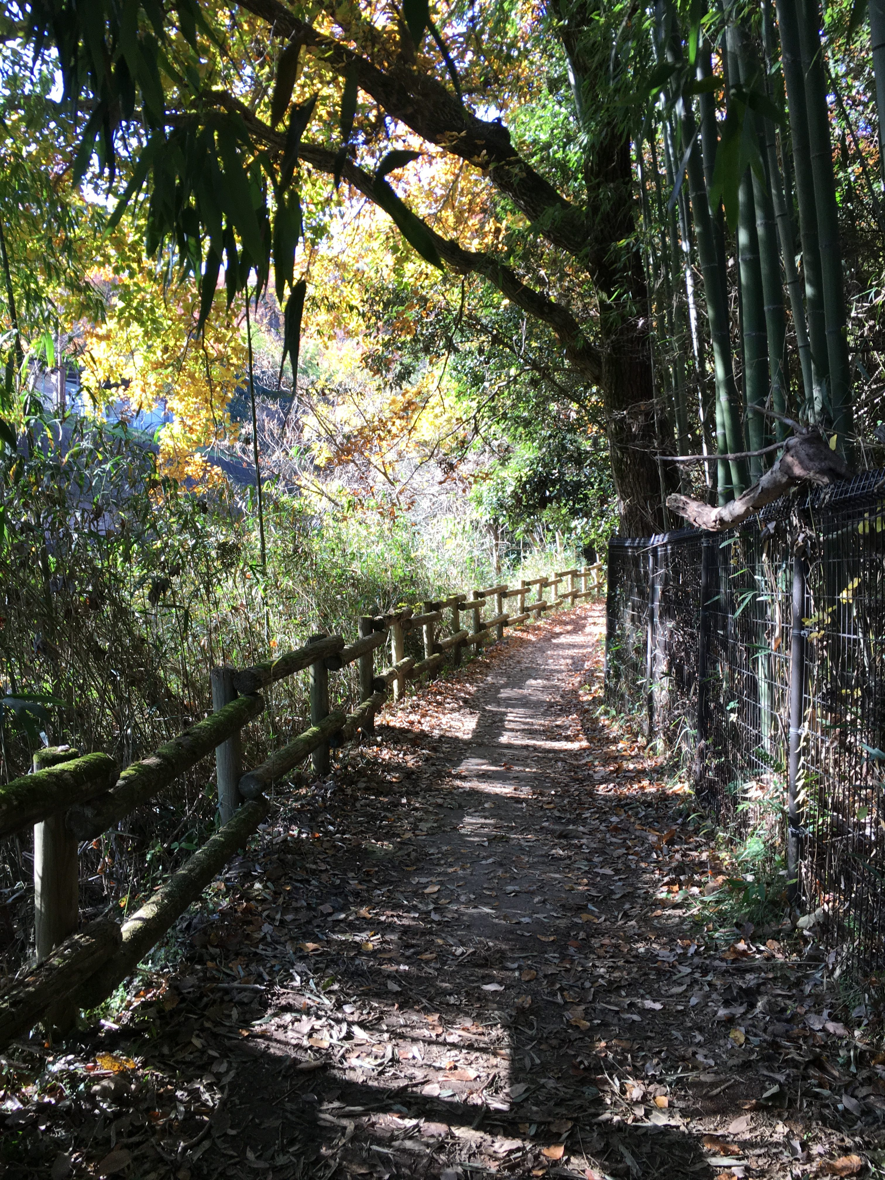bamboo grove and wooden fence natural light and fall leaves