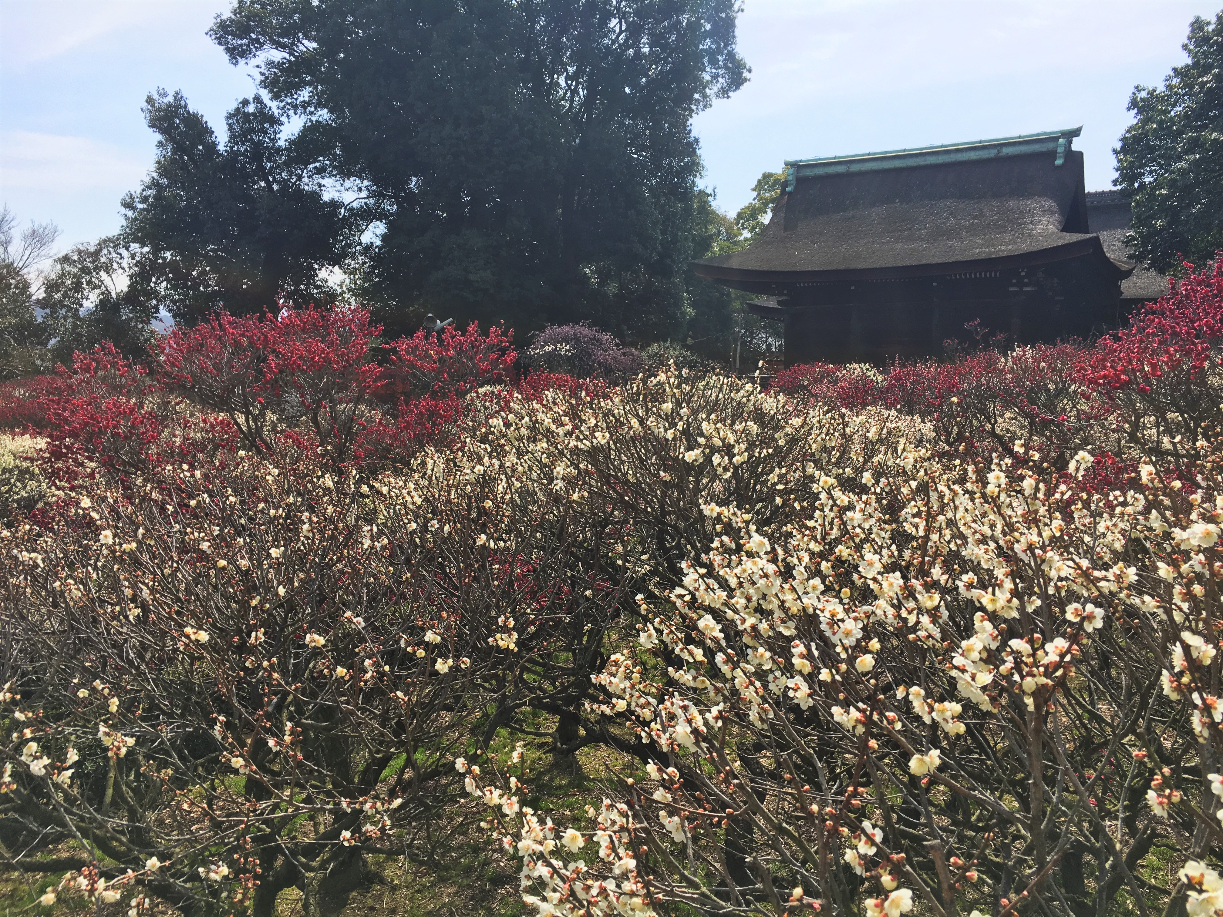 Rows of flowering Japanese plum blossoms with Japanese shrine in background