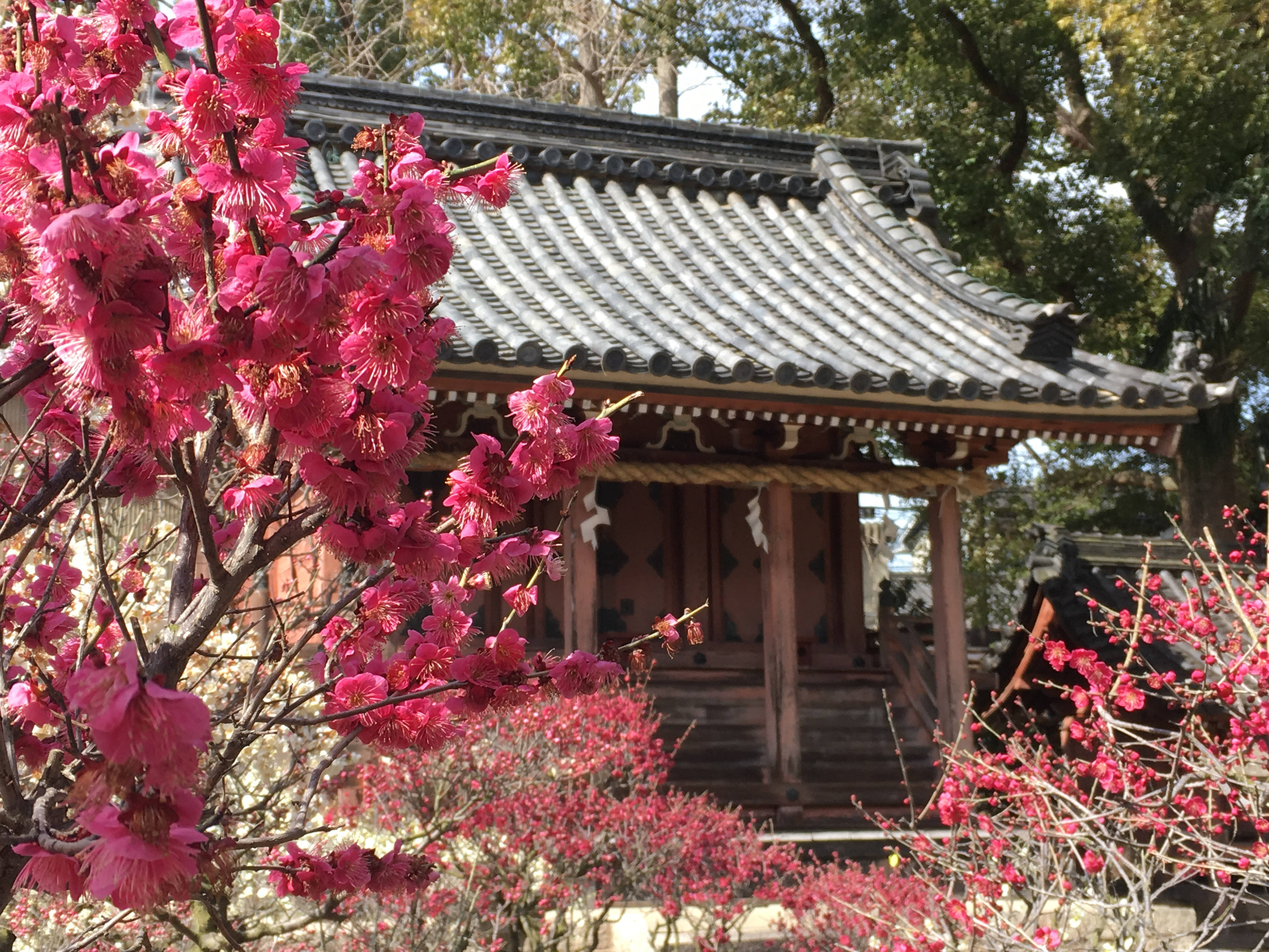 red Japanese plum blossoms with wooden shinto shrine in background