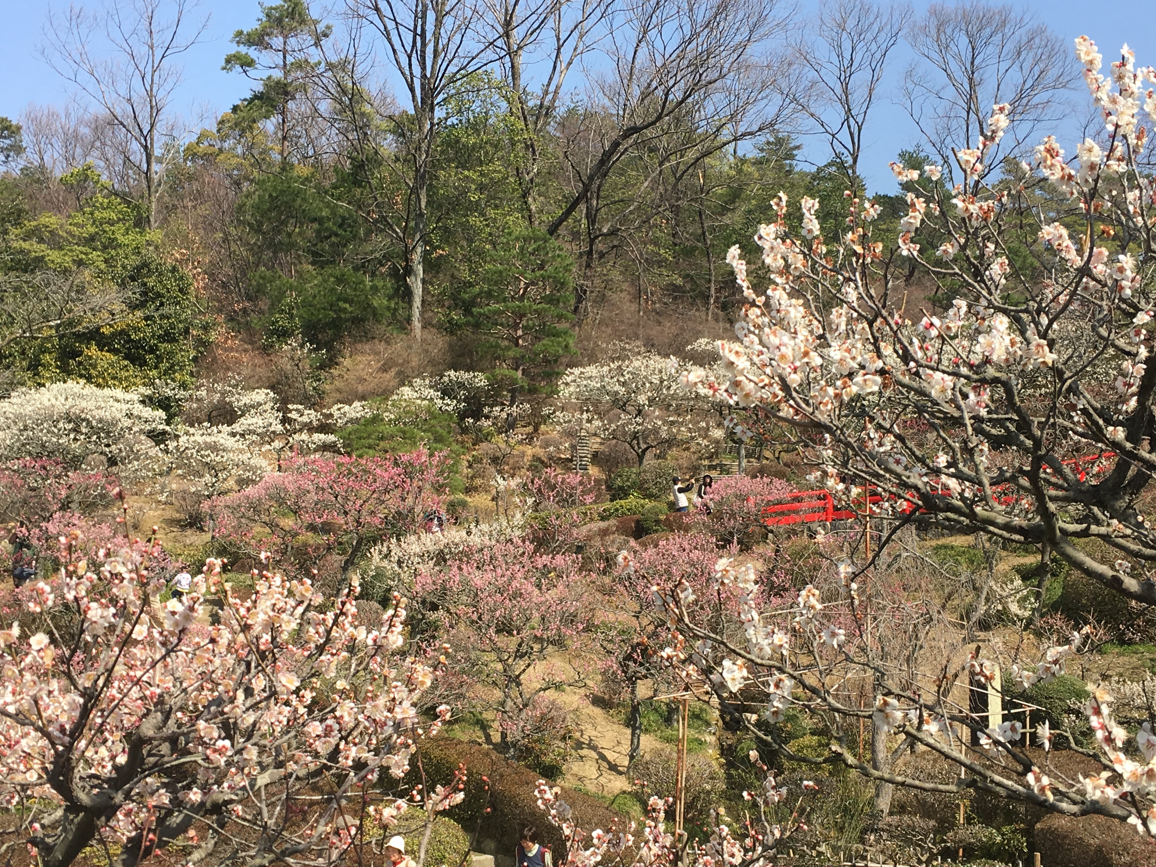 flowering pink and white Japanese plum trees and a vermilion bridge in the background