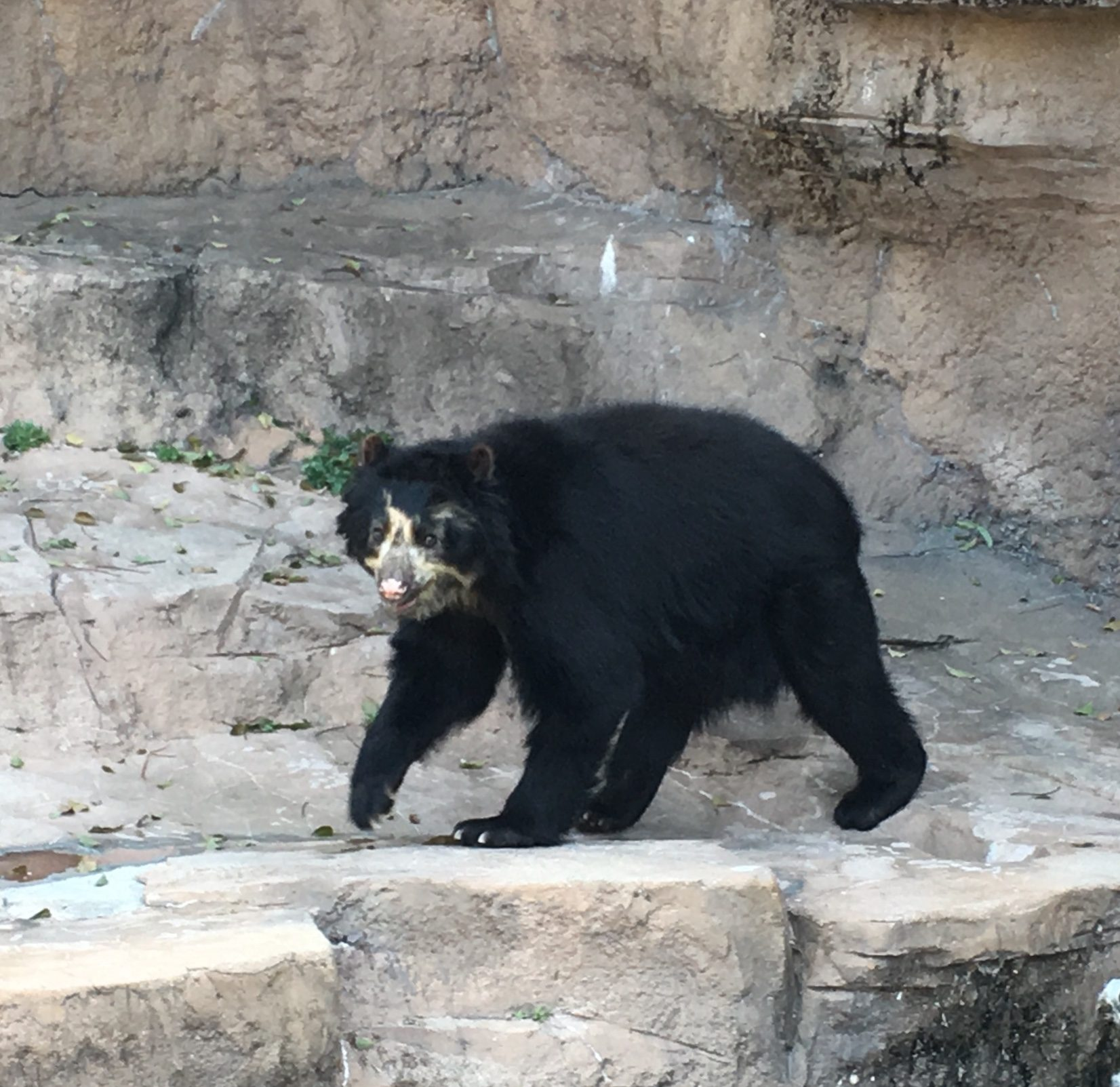 black bear in rocky enclosure at Tennoji Zoo
