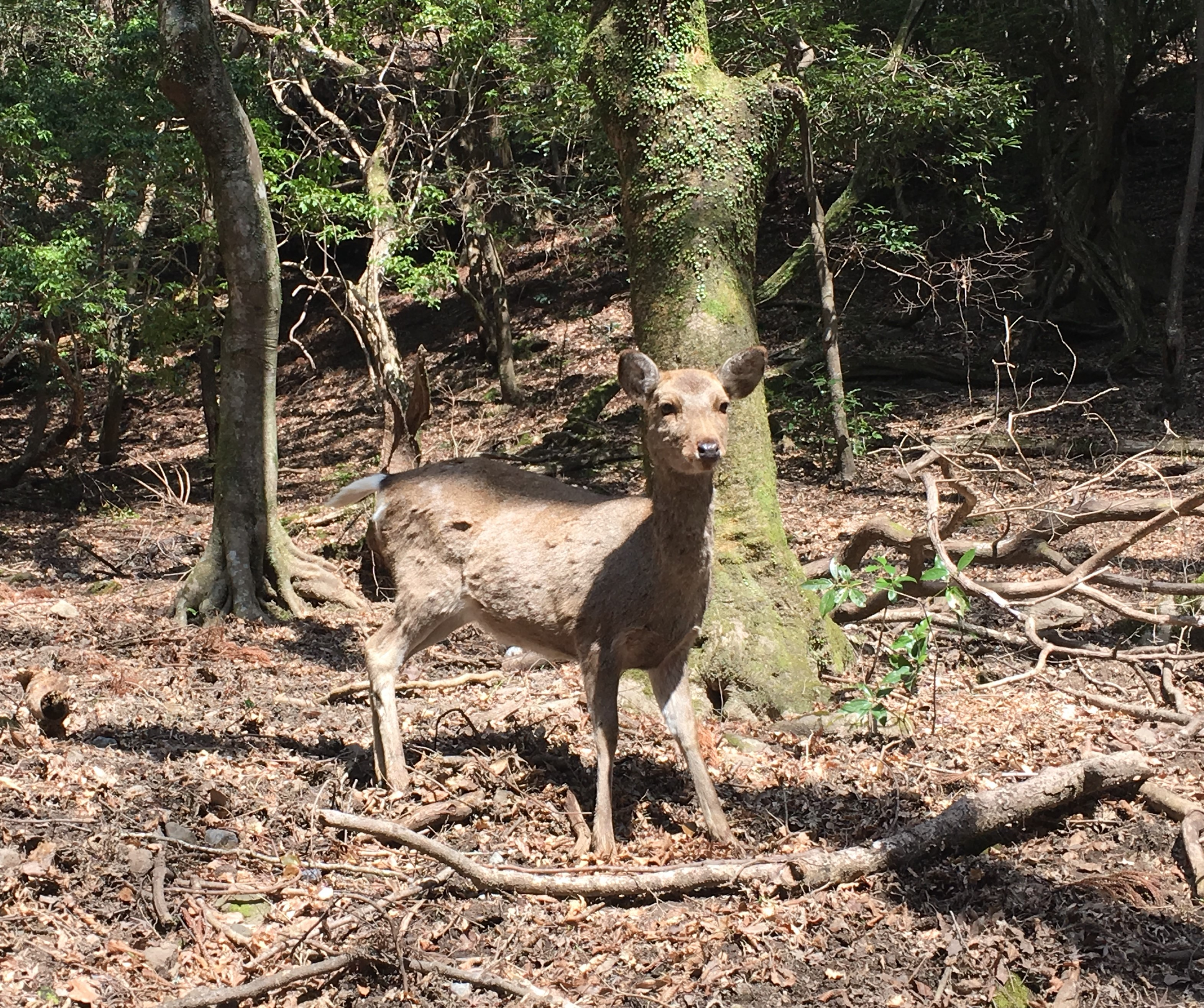 alert deer standing between trees with branches at its feet and lots of leaf litter
