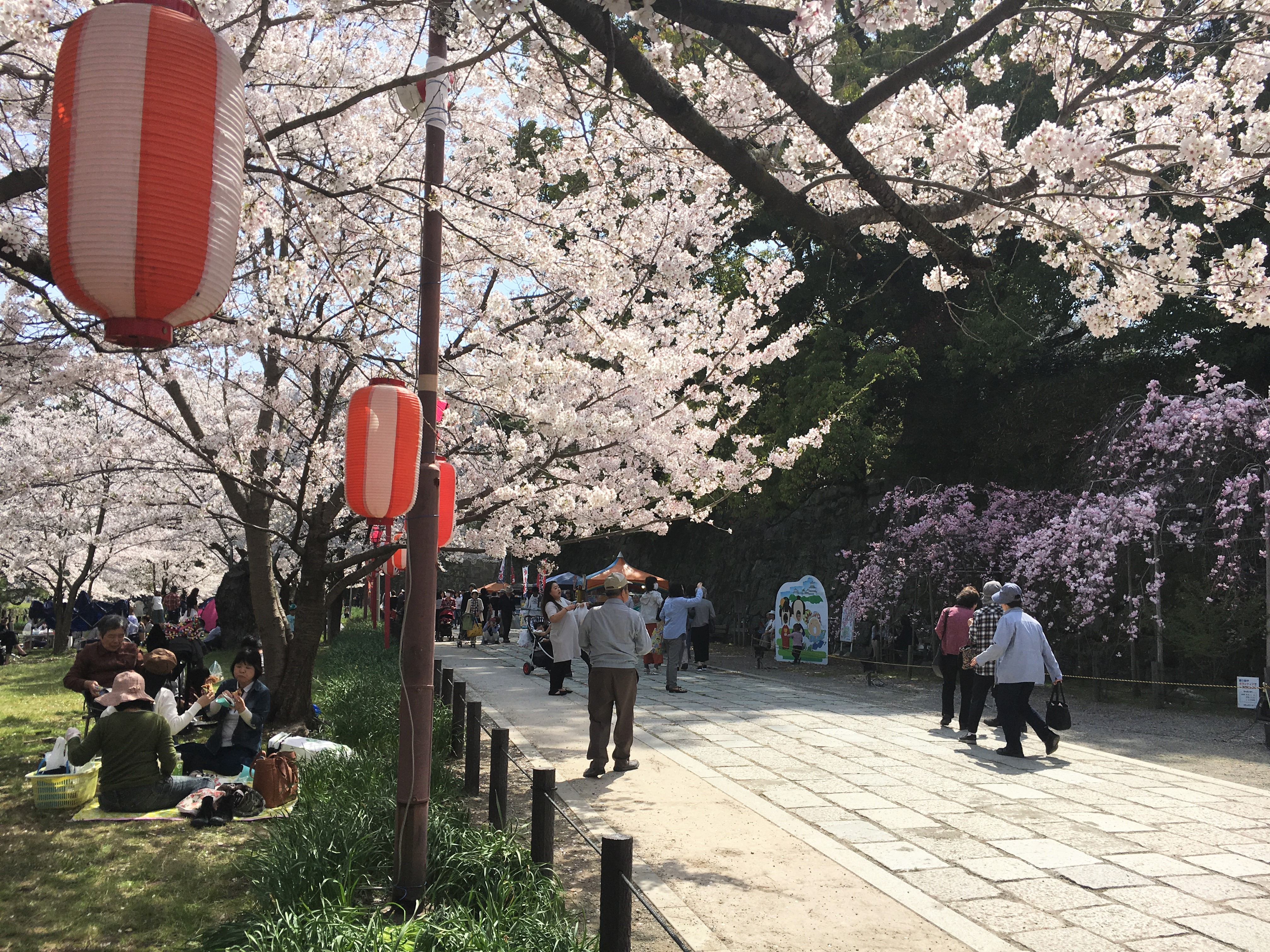 Blooming courtyard of Wakayama Castle in spring and people picnicking