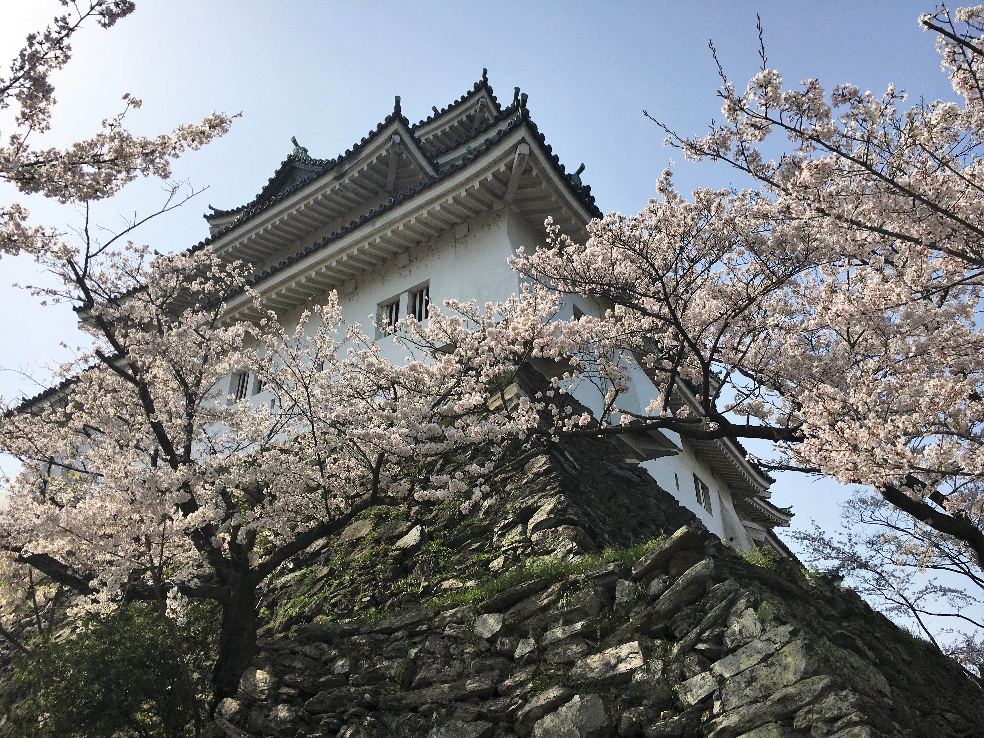 Wakayama Castle surrounded by cherry blossoms
