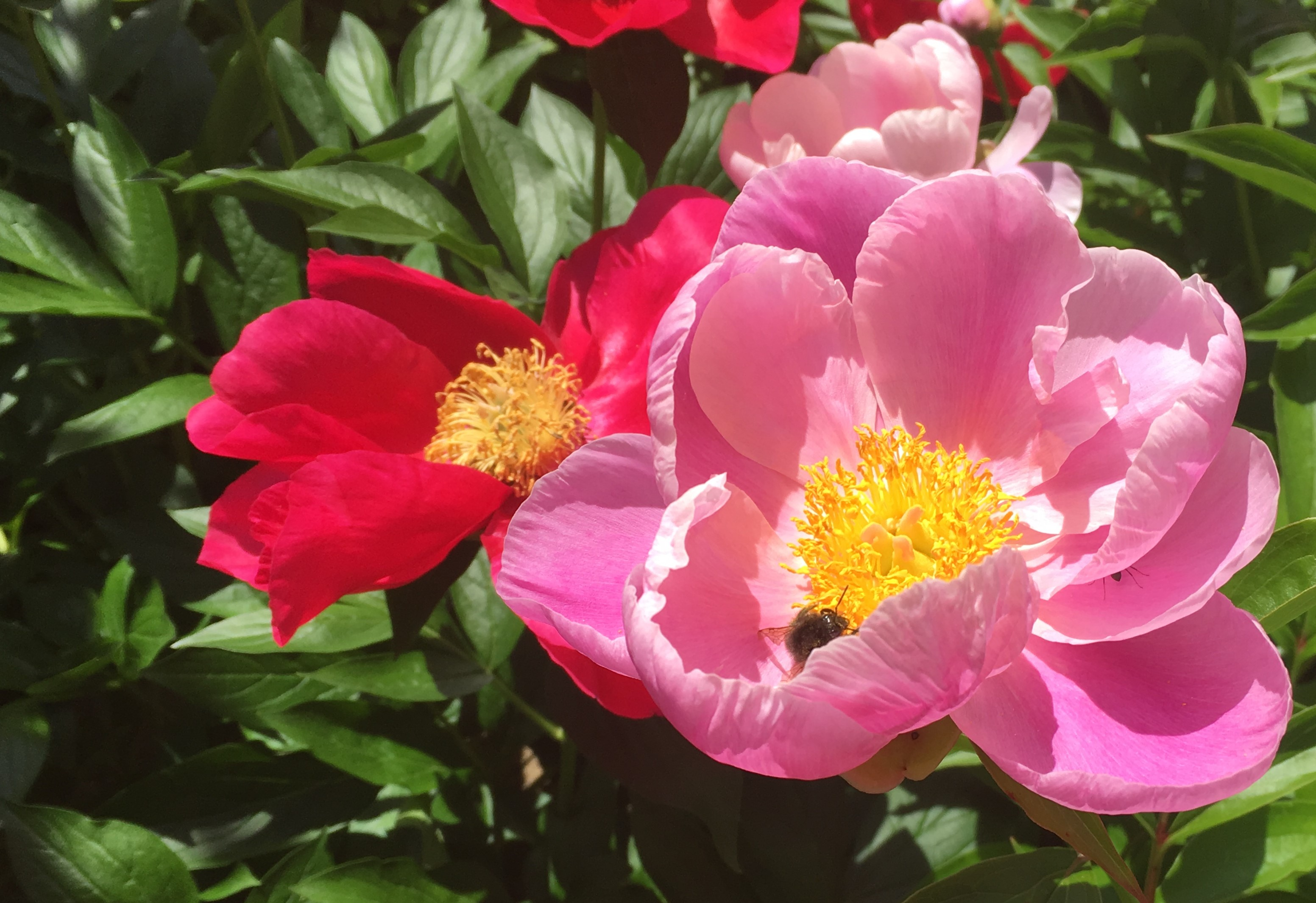 pink and red peonies with a bee sitting in the center of the pink one