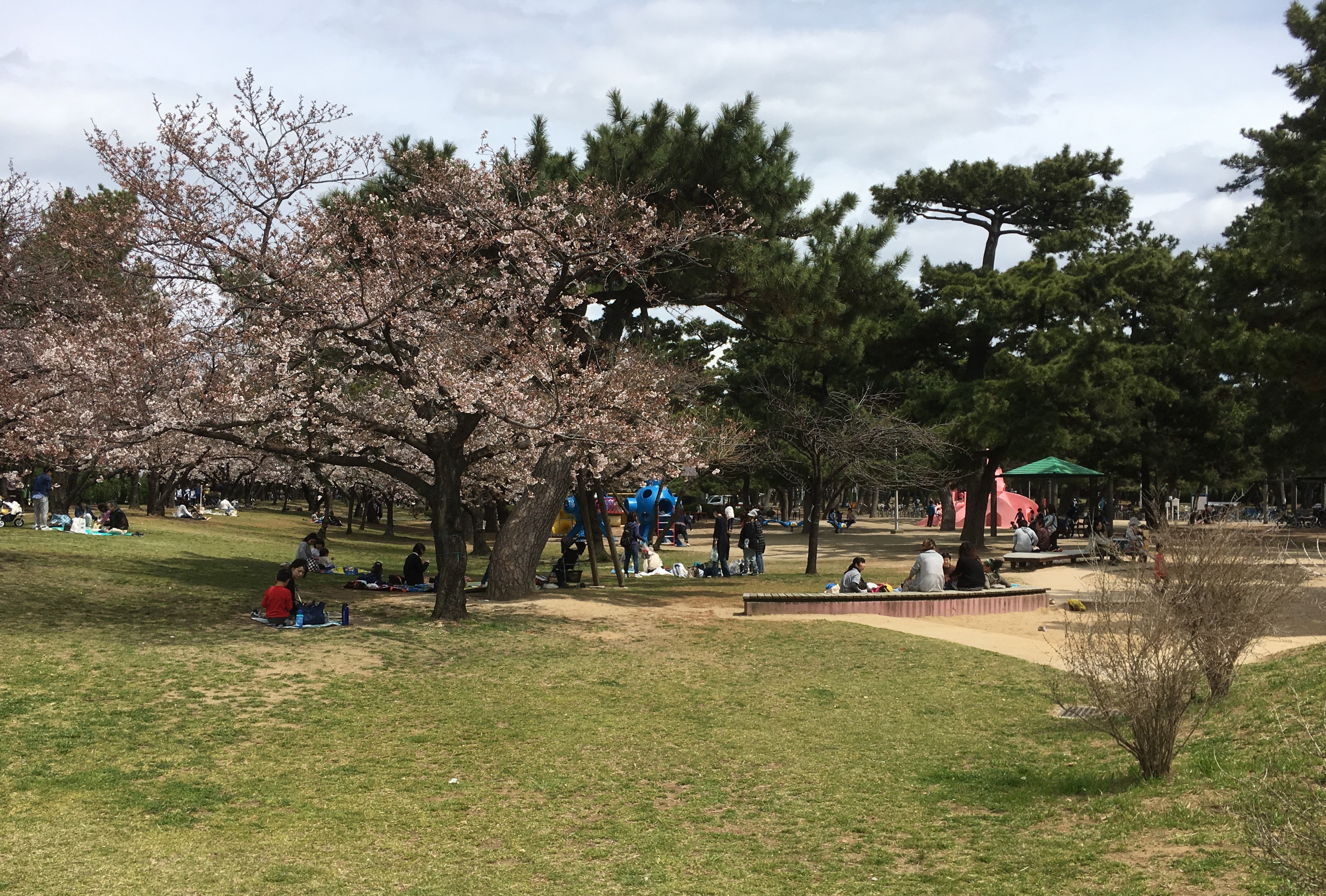 people picnicking under the cherry blossom trees at Hamadera Park