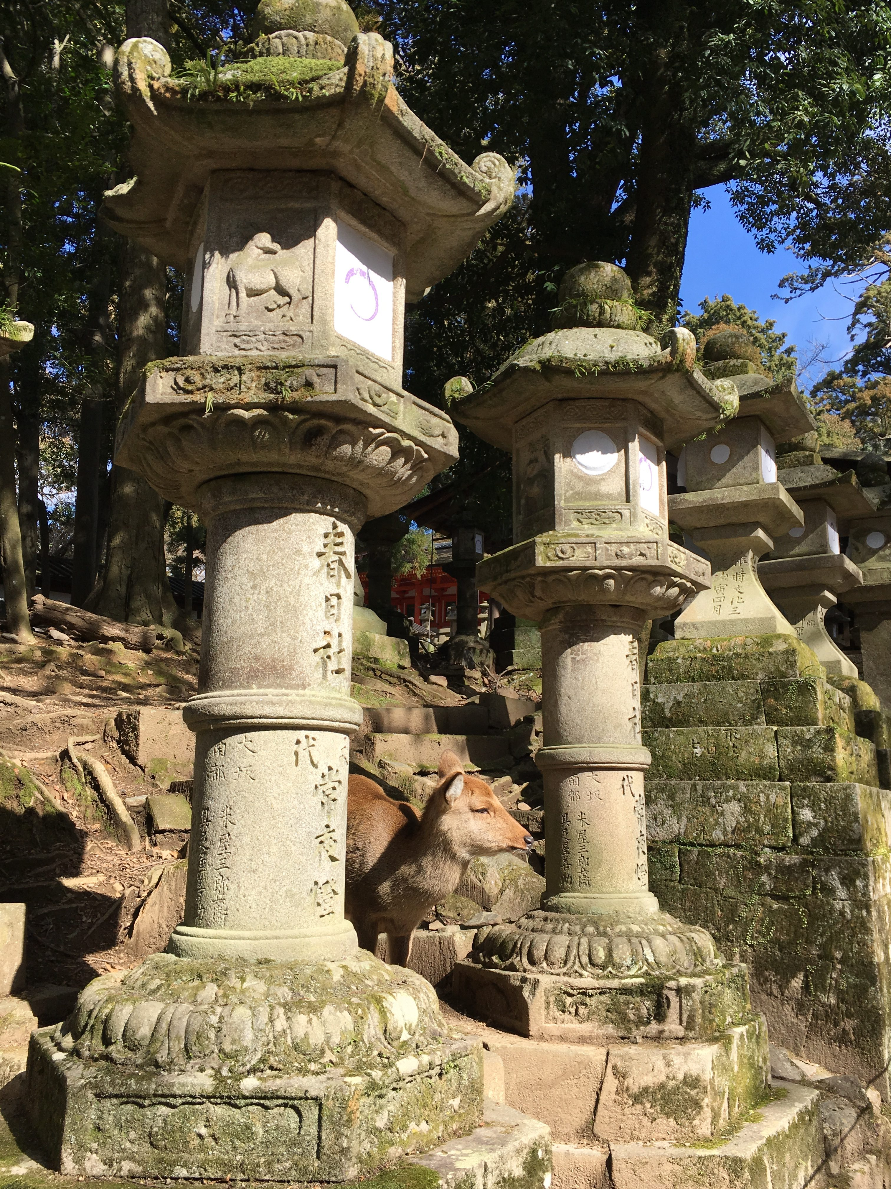 Japanese deer between two stone lanterns at kasuga taisha
