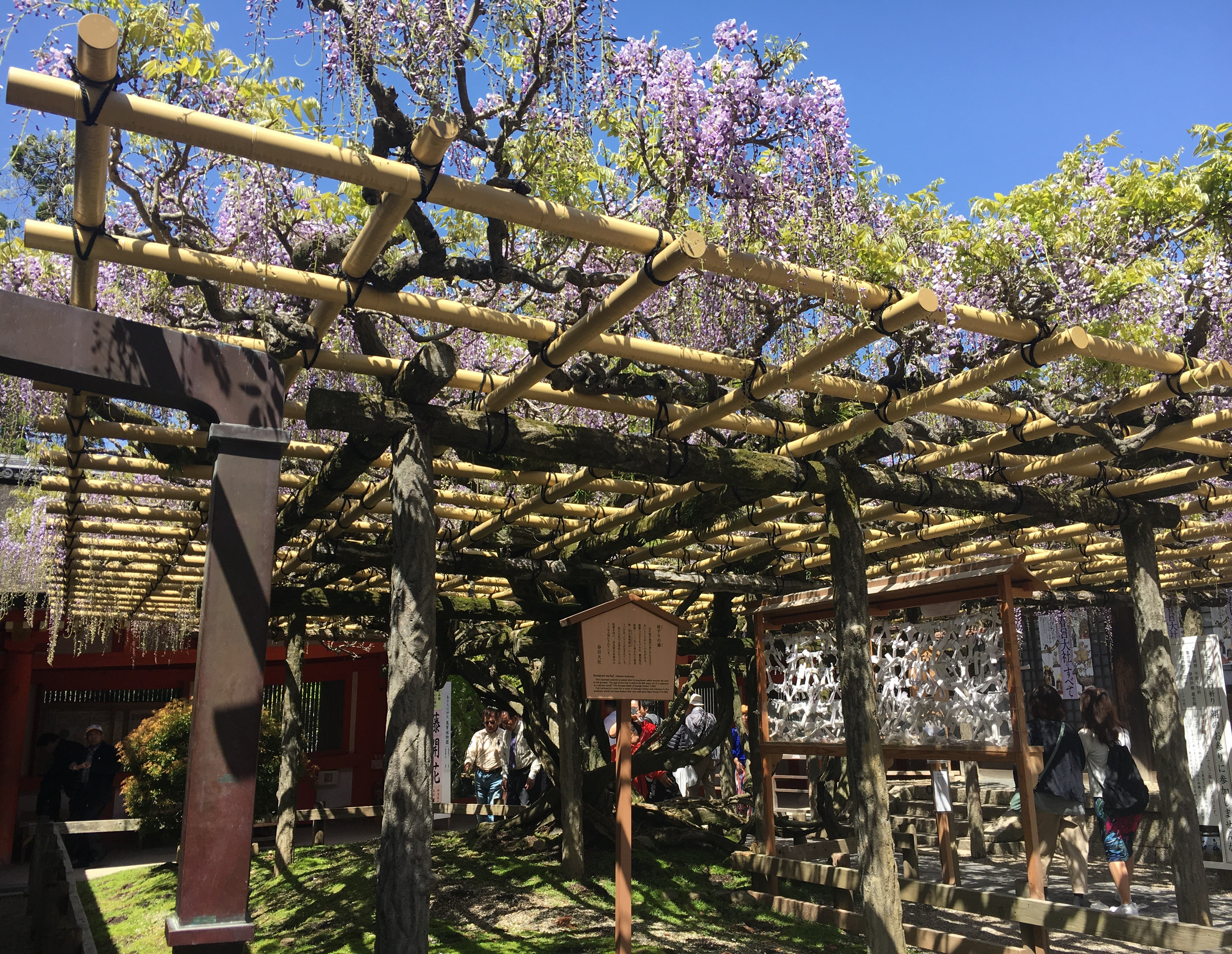 700 year old wisteria plant at kasuga taisha in full bloom