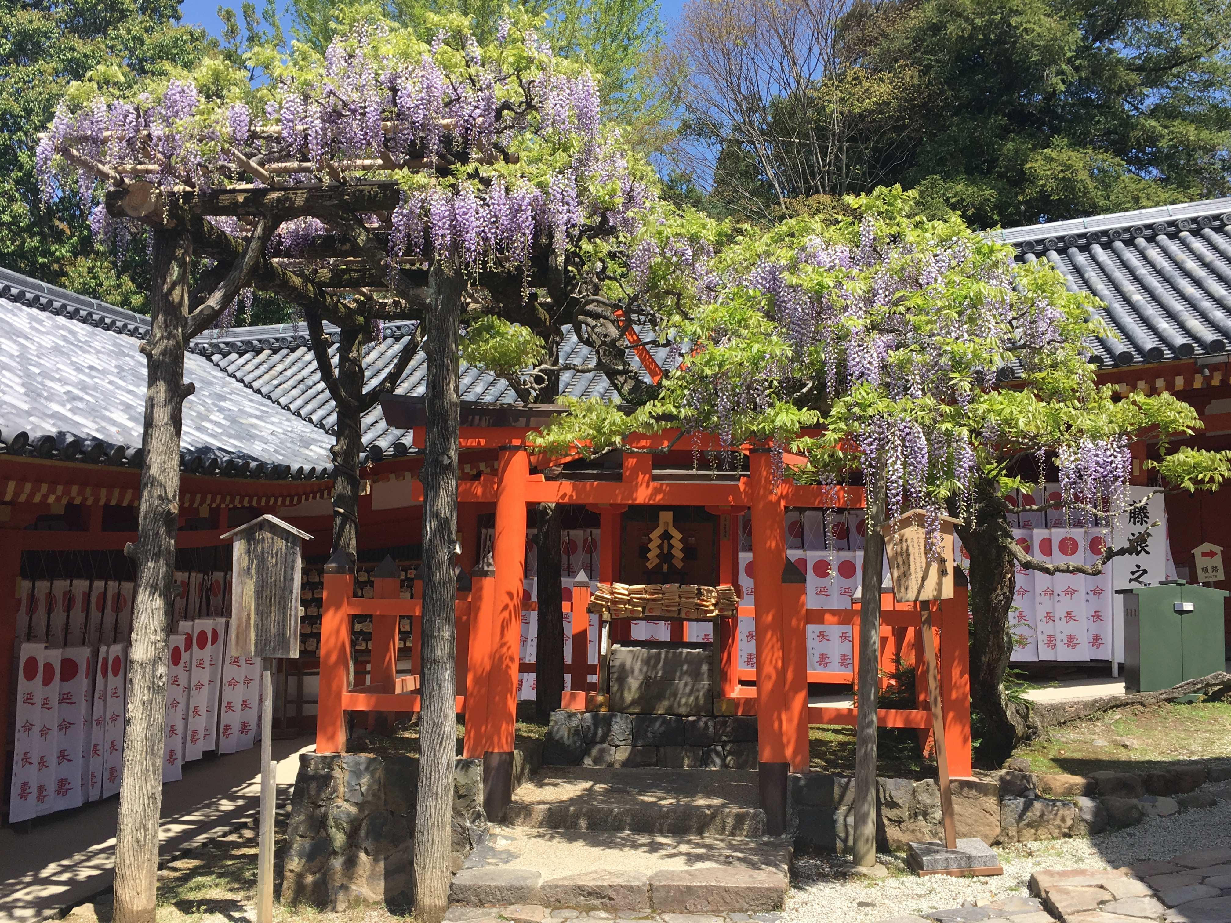 small shinto shrine covered in blooming wisteria at kasuga taisha