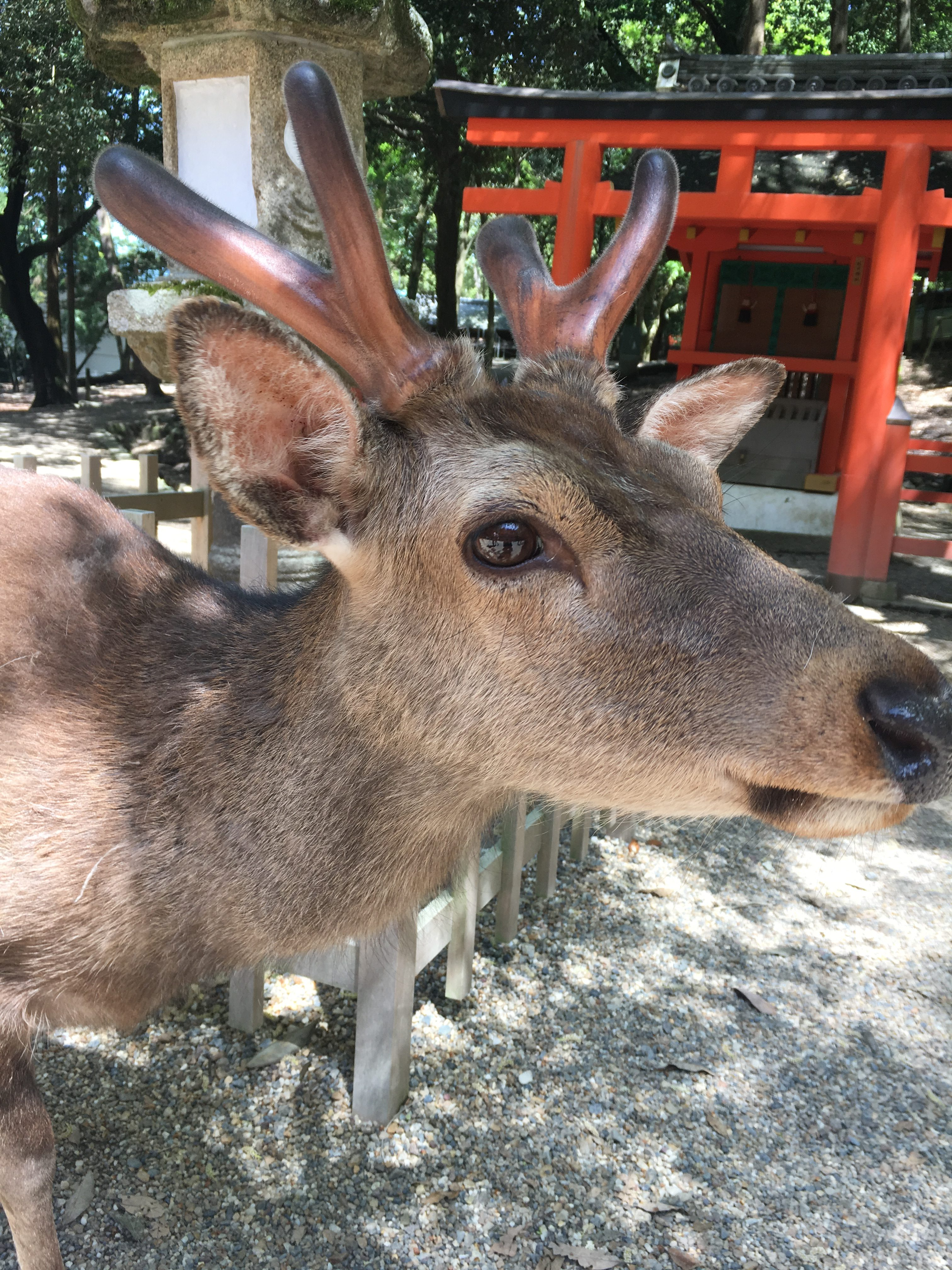 close up of nara deer at kasuga taisha