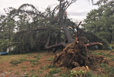 large tree uprooted by Typhoon Jebi at Hamadera Park