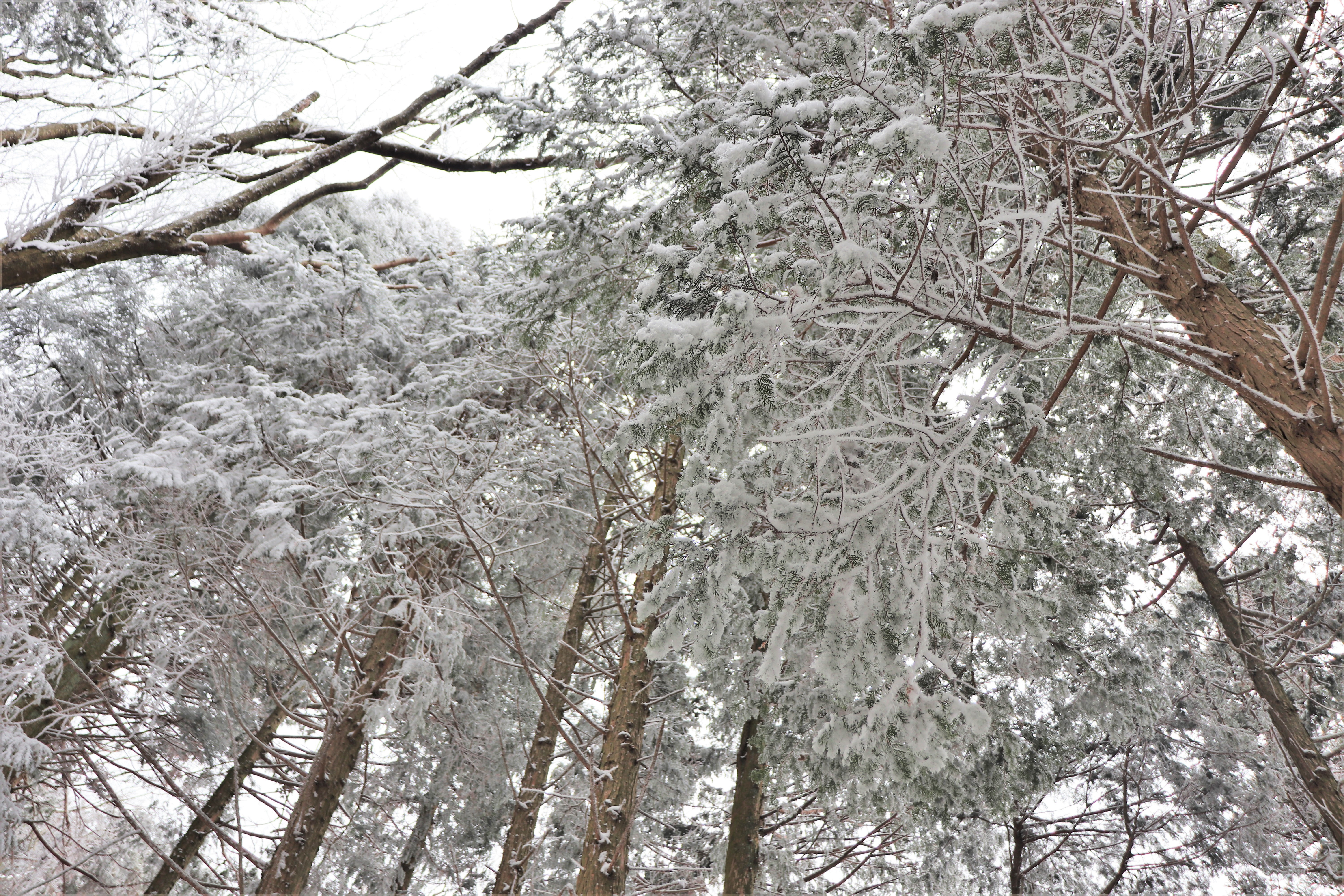 snowy covered tall trees on mount kongo
