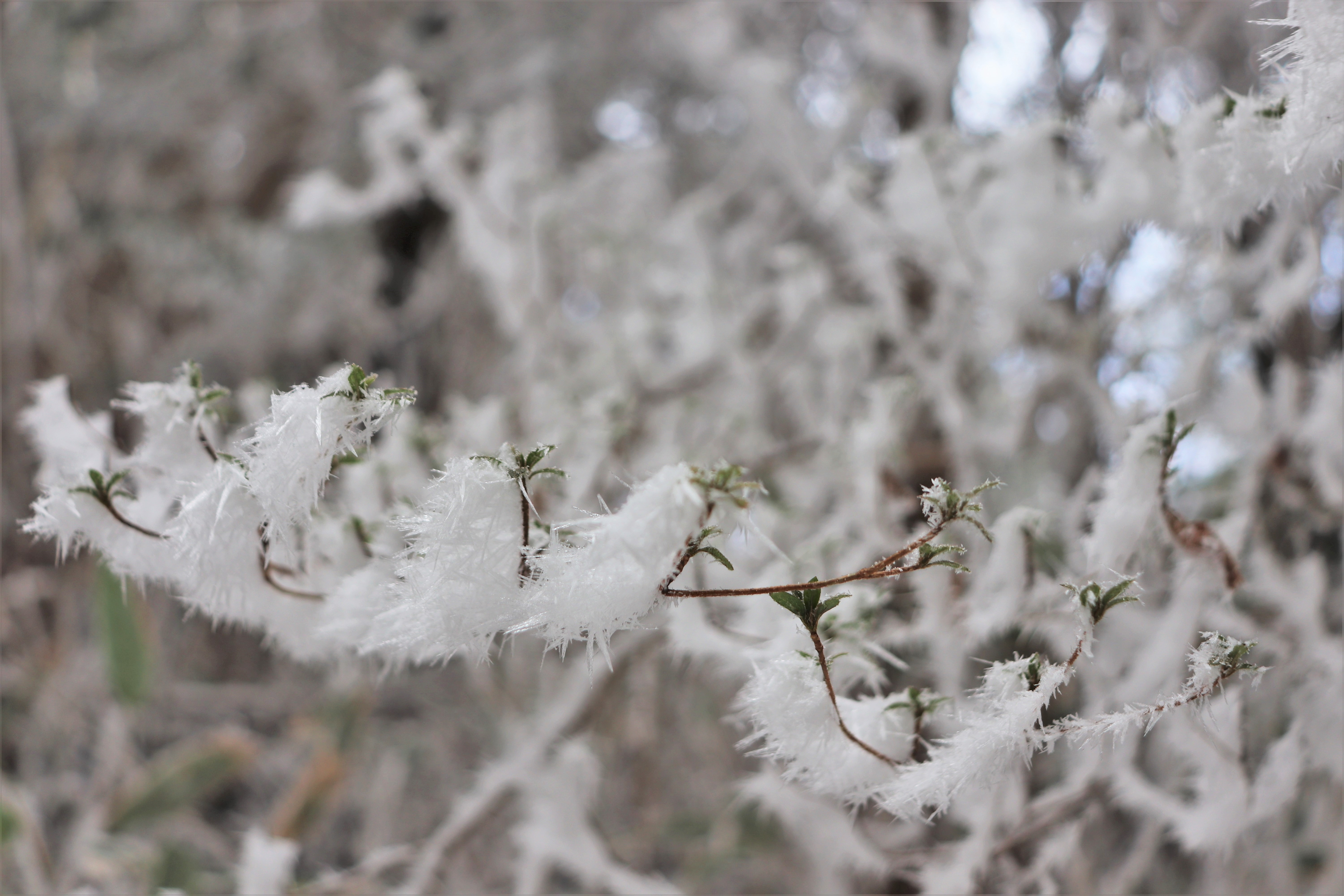 ice covered tree branches on mount kongo