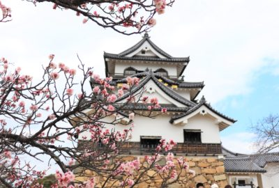 main keep of hikone castle with plum blossoms blooming in front of it