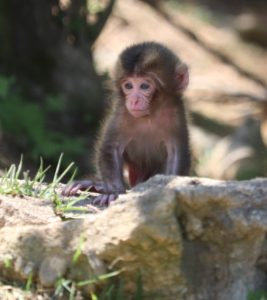 baby monkey in Arashiyama Monkey Park