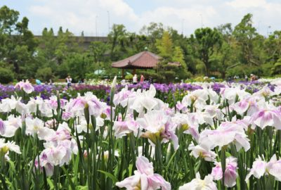 white and purple irises at shirokita park in Osaka