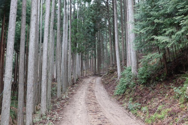 Kitayama cedar tree forest along the Keihoku Course on the Kyoto Circuit Trail