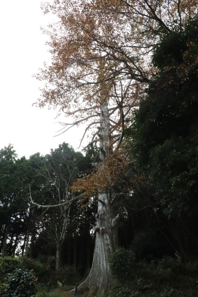 Jubei Cedar tree in Yagyu Village, Nara