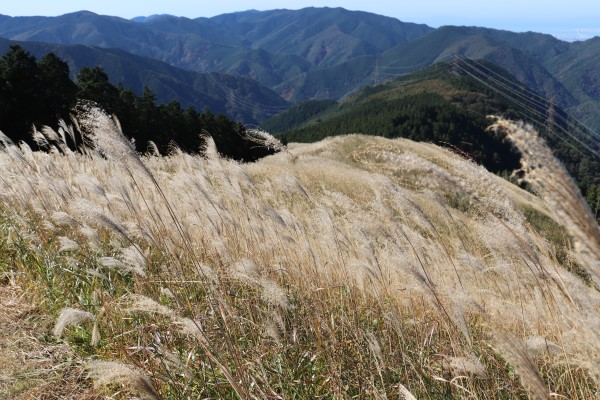 View of Japanese pampas grass on Mt. Iwawaki