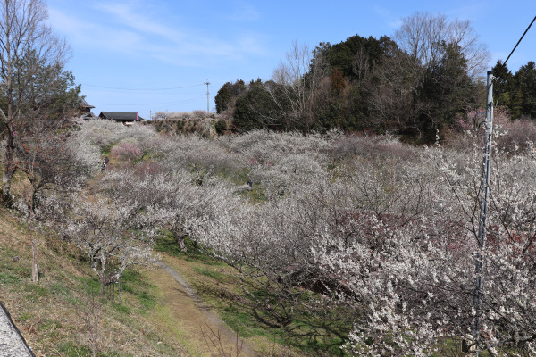 Rows of plum blossoms at the Tsukigase Plum Grove